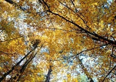 LeeptokariaTrees